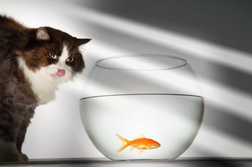 Carp「Cat Looking at Goldfish in Fishbowl」:スマホ壁紙(17)