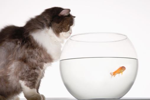 Carp「Cat Looking at Goldfish in Fishbowl」:スマホ壁紙(11)