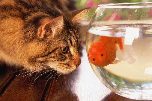 Rivalry「Cat looking at goldfish in bowl」:スマホ壁紙(12)