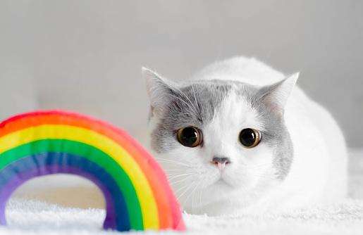 ショートヘア種の猫「Cat looking at rainbow toy」:スマホ壁紙(14)