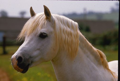 Stallion「Head of a Welsh Section B Pony Stallion」:スマホ壁紙(12)