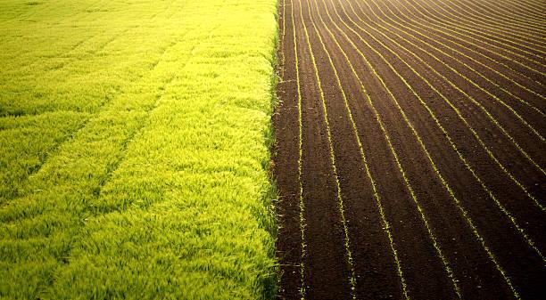 Corn and wheat fields.:スマホ壁紙(壁紙.com)