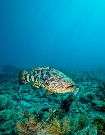 Ugliness「A Goliath Grouper effortlessly floats by a shipwreck off the coast Key Largo, Florida.」:スマホ壁紙(19)