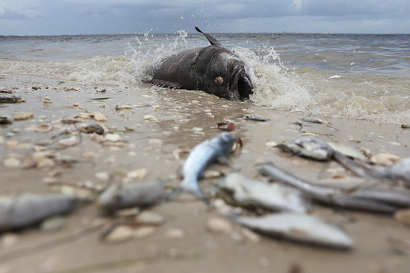 魚・熱帯魚「Toxic Red Tide On Florida's Southwest Coast Killing Hundreds Of Turtles And Fish」:写真・画像(1)[壁紙.com]