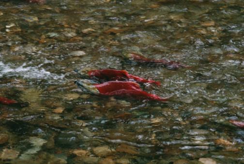アダムズ川「Salmon swimming in shallow stream」:スマホ壁紙(13)