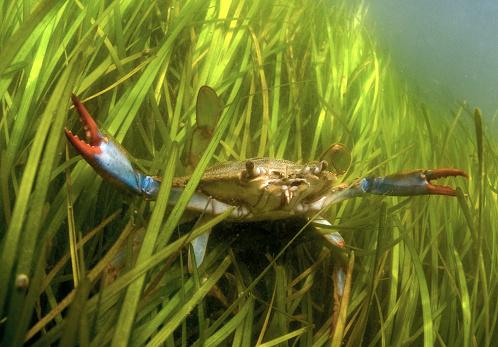Chesapeake Bay「Blue Crab in Eel Grass」:スマホ壁紙(16)