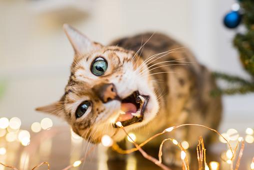 Mischief「Cat bites Christmas lights」:スマホ壁紙(18)