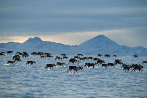 Walking「Porcupine caribou herd (Rangifer tarandus) migration in winter, USA」:スマホ壁紙(17)