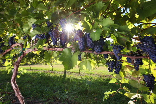 Back Lit「Vineyard Wine Grapes」:スマホ壁紙(1)