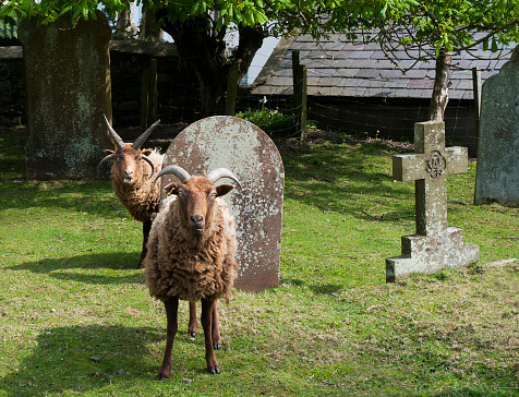 Isle of Man「Sheep being used to graze in a rural churchyard to keep the graves neat and tidy and well trimed」:スマホ壁紙(6)