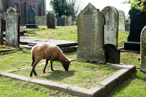 Isle of Man「Sheep being used to graze in a rural churchyard to keep the graves neat and tidy and well trimed」:スマホ壁紙(7)