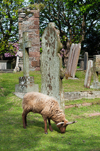 Isle of Man「Sheep being used to graze in a rural churchyard to keep the graves neat and tidy and well trimed」:スマホ壁紙(8)