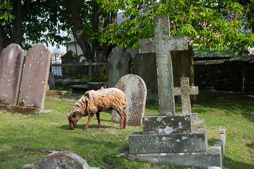 Isle of Man「Sheep being used to graze in a rural churchyard to keep the graves neat and tidy and well trimed」:スマホ壁紙(18)