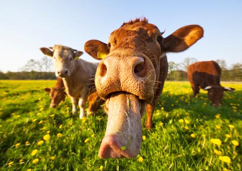 Cow「Crazy Cow」:スマホ壁紙(10)