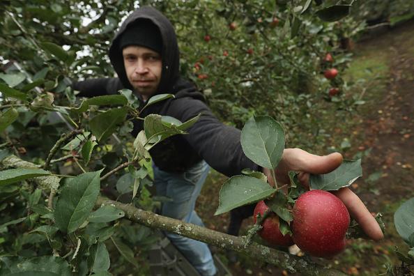 Season「Apple Harvest Underway In Brandenburg」:写真・画像(2)[壁紙.com]