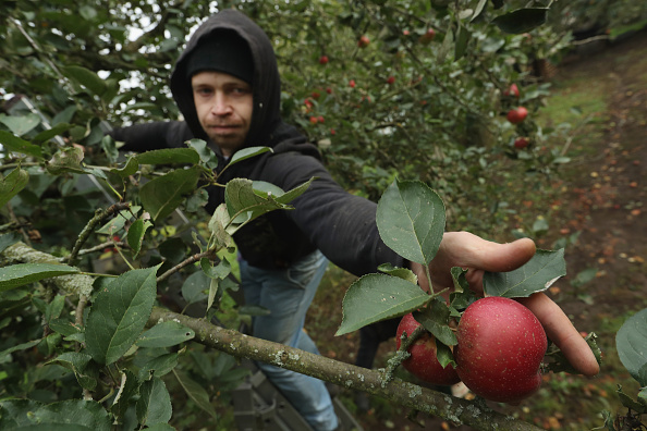 Season「Apple Harvest Underway In Brandenburg」:写真・画像(1)[壁紙.com]