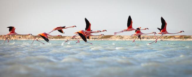 Flock Of Birds「Flamingos taking flight」:スマホ壁紙(10)