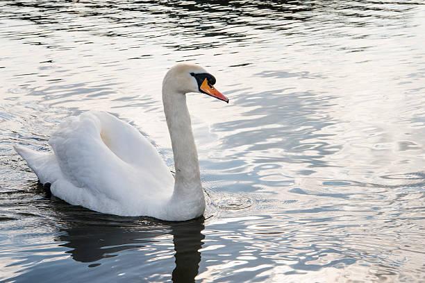 Mute swan in lake:スマホ壁紙(壁紙.com)