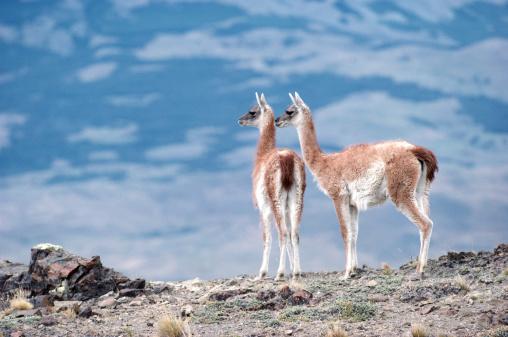 Guanaco「Guanacos (Lama guanicoe), Torres del Paine National Park, Chile」:スマホ壁紙(10)