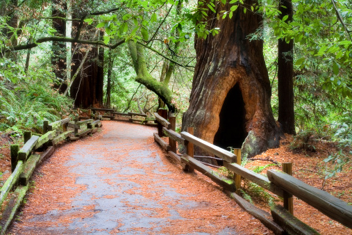 Sequoia Tree「Muir Woods Path」:スマホ壁紙(16)