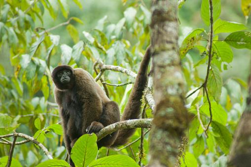 Montane Rainforest「Humboldt's Woolly Monkey (Lagothrix lagotricha), Manu National Park, SE Peru」:スマホ壁紙(3)