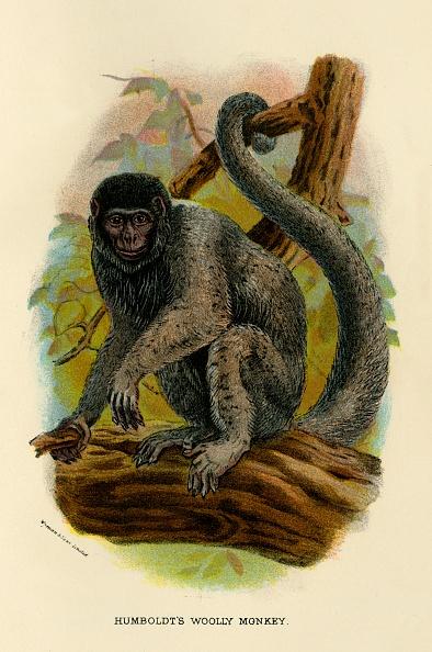 Curled Up「Humboldts Woolly Monkey 1」:写真・画像(2)[壁紙.com]