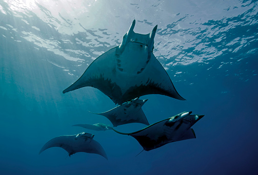 Manta「A school of Chilean Devil Rays swimming below the surface」:スマホ壁紙(14)