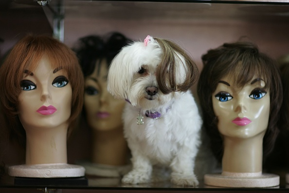 Care「Wigmaker Designs Hairpieces For Pampered Pets」:写真・画像(14)[壁紙.com]