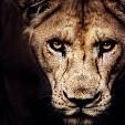 Lion壁紙の画像(壁紙.com)