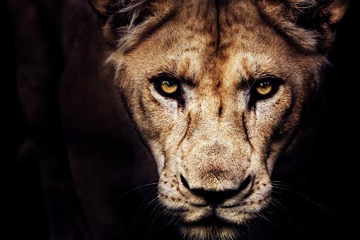 Animal Eye「Lioness portrait」:スマホ壁紙(5)