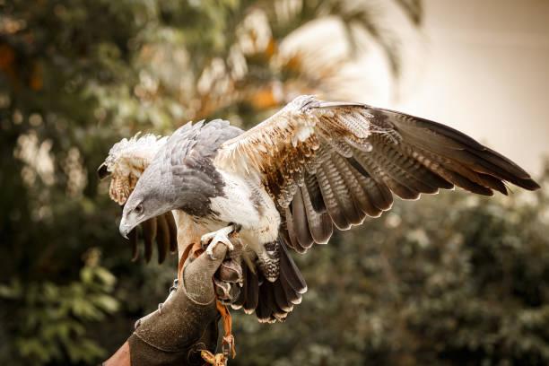 Chilean blue eagle landing on falconer's hand:スマホ壁紙(壁紙.com)