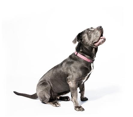 Mixed-Breed Dog「Black Neapolitan Mastiff Mix - The Amanda Collection」:スマホ壁紙(9)