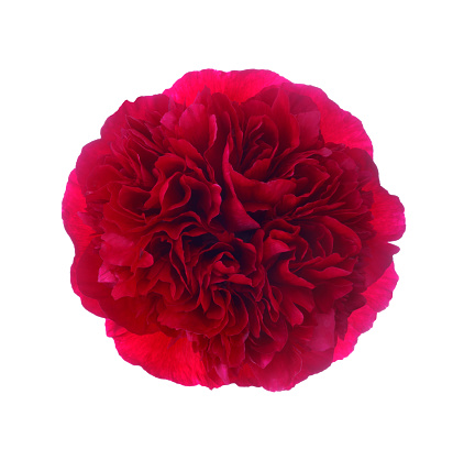 Sensory Perception「Magnificent red peony flower on white.」:スマホ壁紙(6)