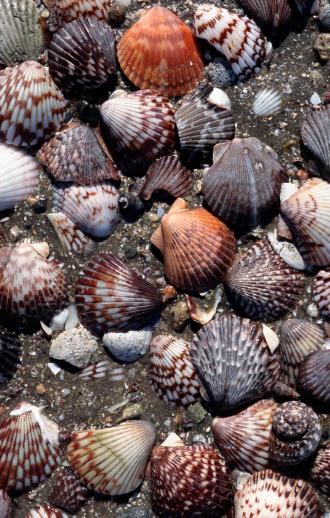Scalloped - Pattern「Sea shells on beach」:スマホ壁紙(15)