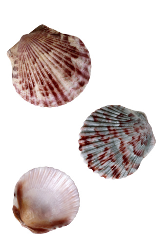 貝殻「Sea Shells」:スマホ壁紙(19)