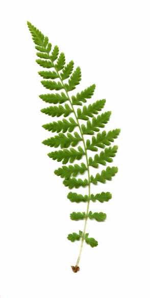 Frond「wood fern, Dryopteris species」:スマホ壁紙(8)