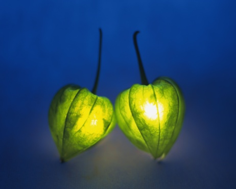 Chinese Lantern「Lighting winter cherries, front view, colored background」:スマホ壁紙(9)