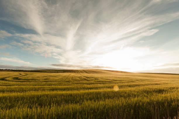 UK, Scotland, cornfield:スマホ壁紙(壁紙.com)