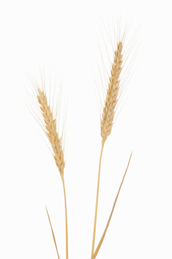 Wheat「Rye (Secale cereale), white background.」:スマホ壁紙(18)