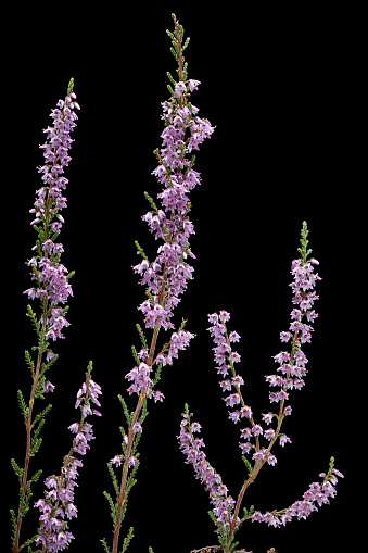 Uncultivated「Calluna vulgaris (heather, ling)」:スマホ壁紙(8)