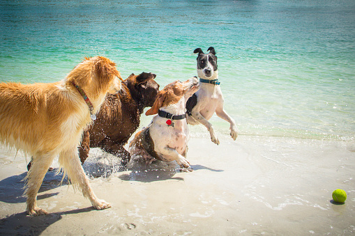 Group Of Animals「Four Dogs playing with tennis ball on beach」:スマホ壁紙(12)
