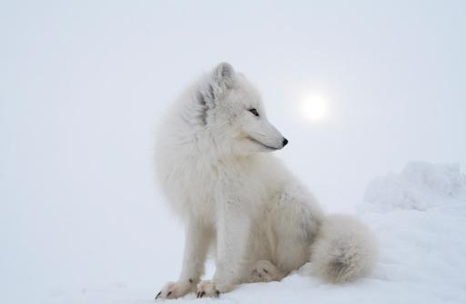 Snowdrift「Polar fox in overcast day.」:スマホ壁紙(14)