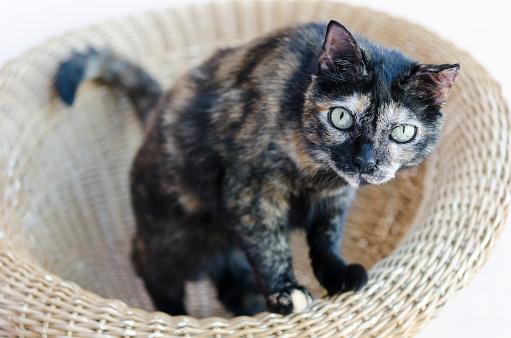 猫「Cat sitting in a basket」:スマホ壁紙(5)