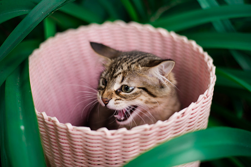 Kitten「Cat sitting in basket hissing」:スマホ壁紙(14)