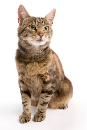トラ猫「Cat sitting」:スマホ壁紙(7)