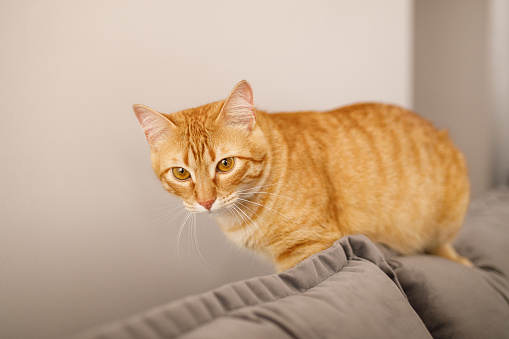 Mixed-Breed Cat「Cat sitting on the top of the couch」:スマホ壁紙(4)