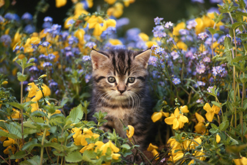Kitten「Cat sitting in flower garden, close-up」:スマホ壁紙(17)