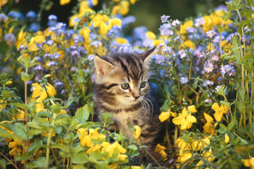 Kitten「Cat sitting in flower garden」:スマホ壁紙(2)