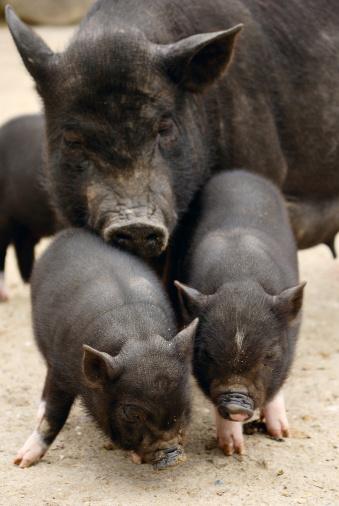 Snorting「pigs」:スマホ壁紙(12)
