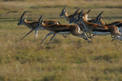 Gazelle「Thomson's gazelles (Gazella thomsonii) running, Masai Mara, Kenya」:スマホ壁紙(10)